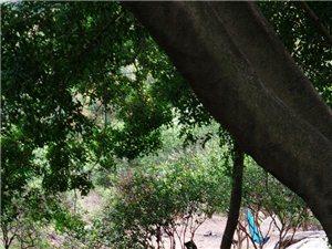 深山老树下,避瘟好地,自然吸氧