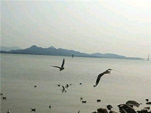 深圳湾的海鸥