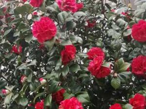 浣溪沙.自题紫云阁(新韵)小院盛开名种花,白鸽红鲤戏云霞,书香墨色粲予家。