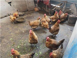 家里这几只老母鸡出售!