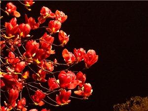 吃晚饭后散步到团结桥,看到广场的玉兰花开得正艳
