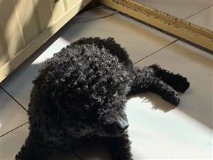 寻找黑色泰迪