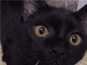 英短黑猫有偿领养