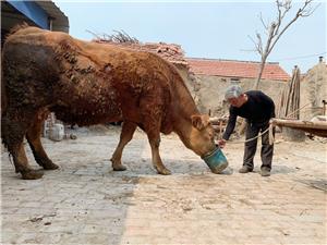 小时候最熟悉的动物就是老黄牛了,现在小朋友看见牛就感觉进了动物园似的