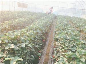 草莓8�K一斤,想知道哪里摘的��?