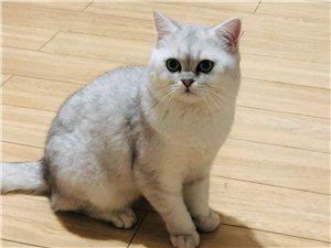 猫咪求配种