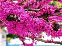 小区里的紫荆花盛开了。那粗粗的树枝上,结结实实地开满了鲜艳夺目,婀娜娇娆的紫荆花,它们一串挨着一串,