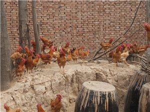 自家散养大红公鸡出售