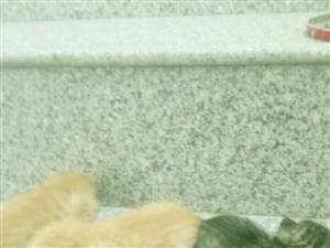 小奶猫有人要白