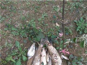 哪个无B聊的,把我鱼塘的鱼毒死了好多,三个鱼塘都死了许多,直接经济损失一二万元。可能是1有人故意毒鱼