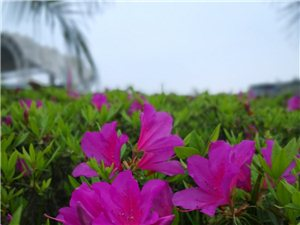 体育馆那边和夏威夷河边的杜鹃花开了,美得不要不要的
