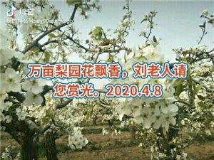 万亩梨园花飘香,刘老人请您赏光。