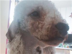 我家狗4月6�下午四�c左右在�f泰附近走�G了,毛�l是灰白灰白的,一�l泰迪的串串公狗,不�的�r候�]穿衣服