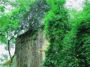 信丰大塘发现一颗长在墙壁上的树!