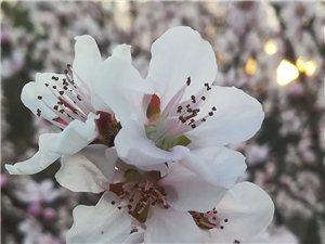春天的脚步已踏入东北了,显得比往年要早了许多,鲜花也早早的登上了枝头,像似非常理解经过严寒的冬天,经