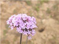 花开半夏,五月马鞭草如紫色烟花,绚丽多姿。