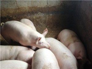 大眾胖豬家養