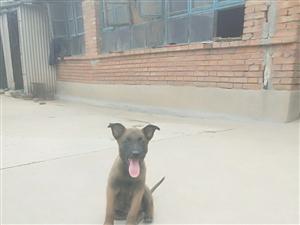 出售�R犬