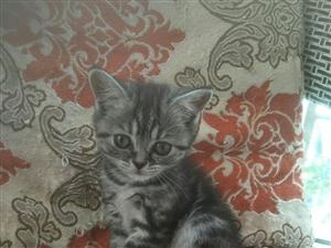 出售美短小猫