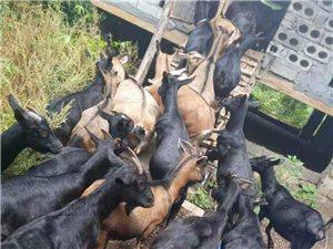 低价出◇售大群黑山羊�,36只种羊