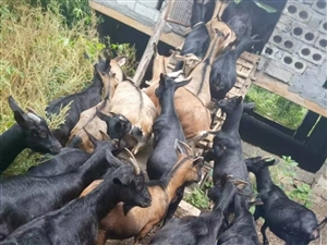 低价出售自家放养黑山羊