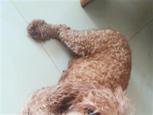 2岁泰迪★母犬