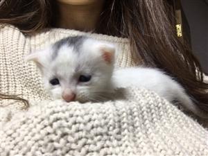 中华田园白猫,很可爱,求领养