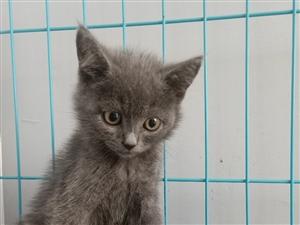 蓝猫小可爱一只,奶凶奶凶的