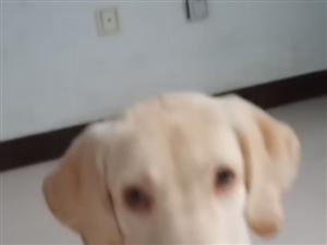 出售一只六��月的拉布拉多公狗,