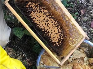 原生態好蜂蜜,大自然的饋贈,100一斤