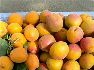 金太阳杏熟了.