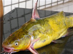 哪里有卖这种野生戈雅鱼呀?