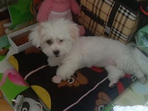 白色狗狗叫七月