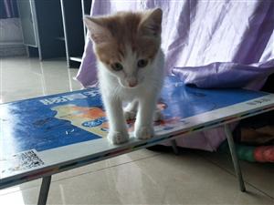 波斯猫和田园猫的宝宝
