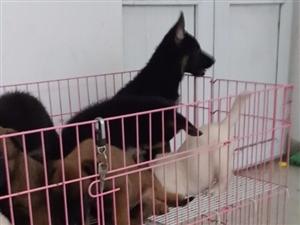 出售拉布拉多,德牧,马犬