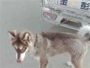 阿拉斯加犬。雪橇犬