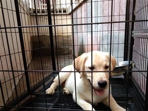 漂亮的狗狗出售,
