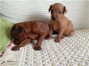 自家养迷你杜宾幼犬出售