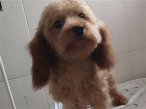 泰迪6个月大