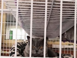青州市区自家养蓝猫幼仔