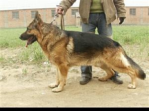 德��牧羊犬