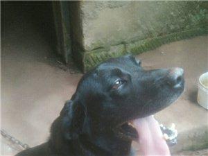 拉布拉多犬�D�