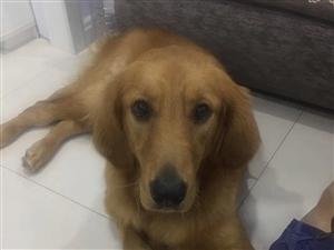 自家养的金毛因为身体原因需要转手,带狗笼