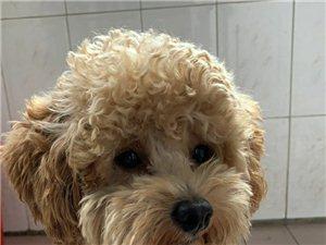黄色泰迪犬