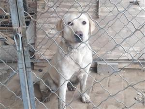 拉布拉多犬出售