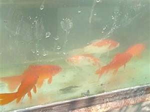 中畈水上农庄观赏鱼出售