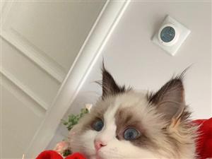布偶猫(定价)
