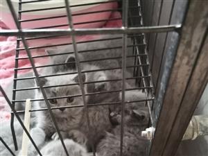 青州蓝猫幼仔出售