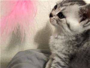 纯种美短猫标斑,虎斑