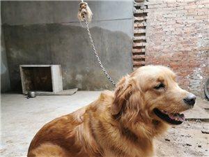 特�r出售金毛成犬